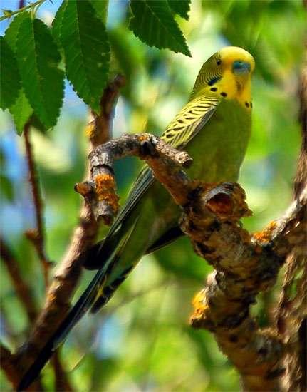 Волнистый попугай на ветве дерева, фото птицы фотография картинка