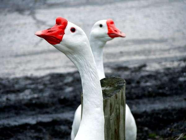 Два белых гуся, фото домашние птицы фотография