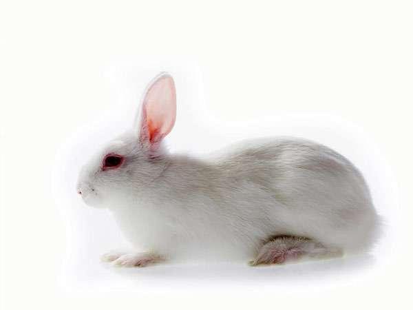 Белый домашний кролик, фото зайцеобразные фотография