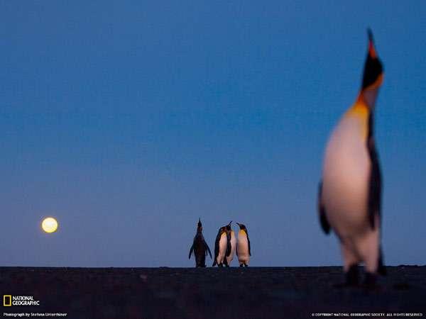 Королевские пингвины и луна, фото птицы фотография картинка