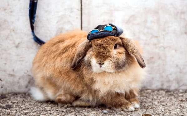 Кролик баран, фото вислоухий кролик, фотография картинка