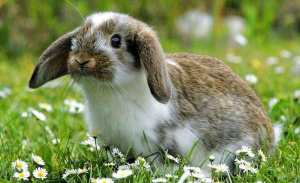 Кролик баран, фото домашние кролики фотография
