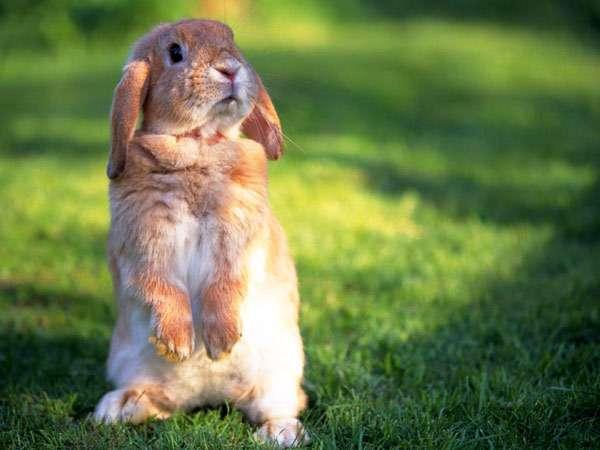 Вислоухий бежевый кролик, фото фотография