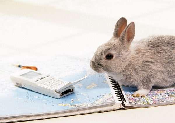 Карликовый кролик, фото зайцеобразные животные фотография картинка