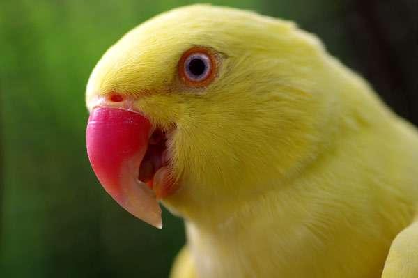 Индийский кольчатый попугай (Psittacula krameri) желтая форма, фото птицы фотография