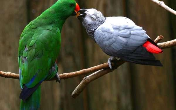 Два попугая, фото птицы фотография картинка