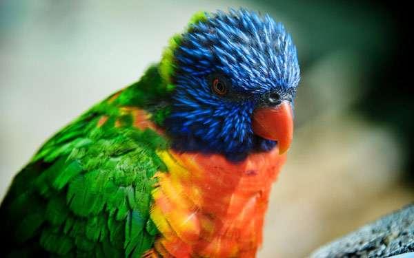 Многоцветный лорикет (Trichoglossus haematodus), фото попугаи птицы фотография