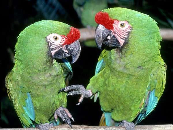 Зеленокрылые ара (Ara chloroptera), фото попугаи птицы фотография