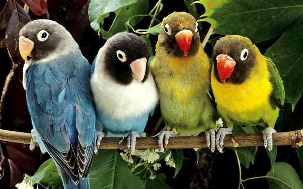 Неразлучники, фото попугаи птицы фотография