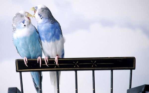 Волнистые попугайчики, фото птицы фотография картинка