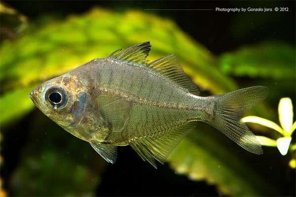 Самые необычные аквариумные рыбы фото Самые необычные ...: http://zooclub.ru/samye/neobychnye_akvariumnye_ryby.shtml