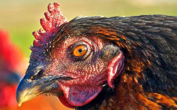 Голова домашней курицы, фото птицы фотография картинка