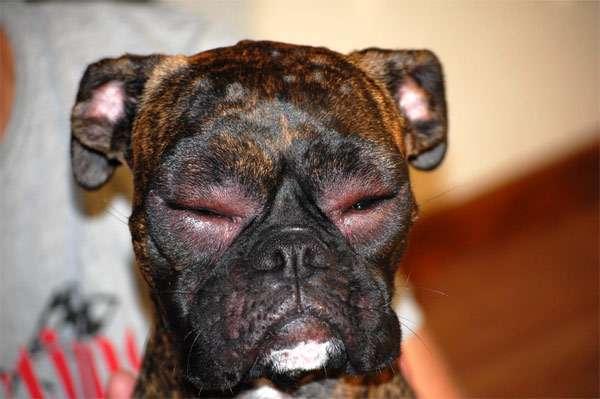 Боксер с опухшими глазами, фото болезни собак фотография