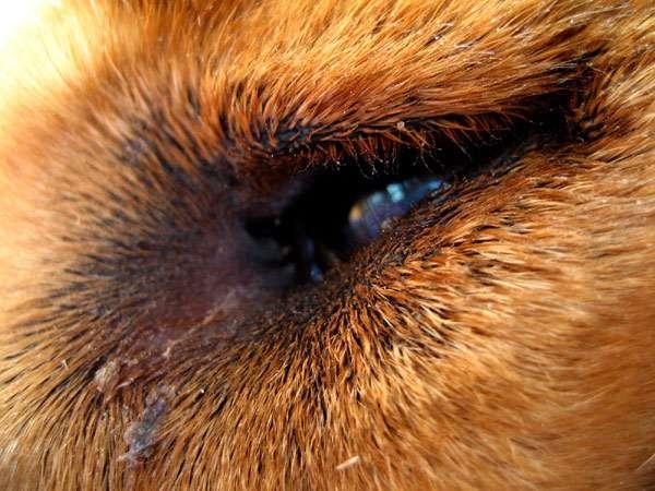 Глаз собаки, фото болезни собак фотография