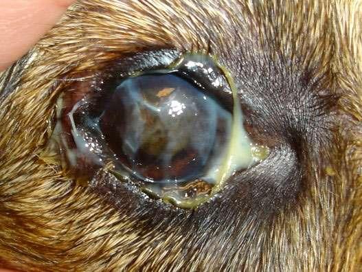 У собаки гноятся глаза как лечить в домашних