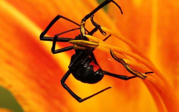 Чёрная вдова (Latrodectus mactans), фото членистоногие фотография