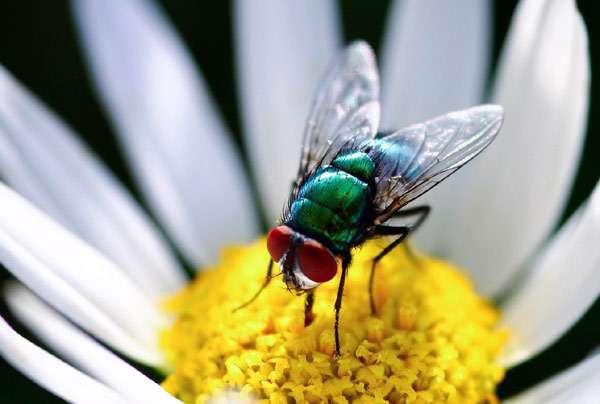 Зеленая муха, фото насекомые фотография картинка