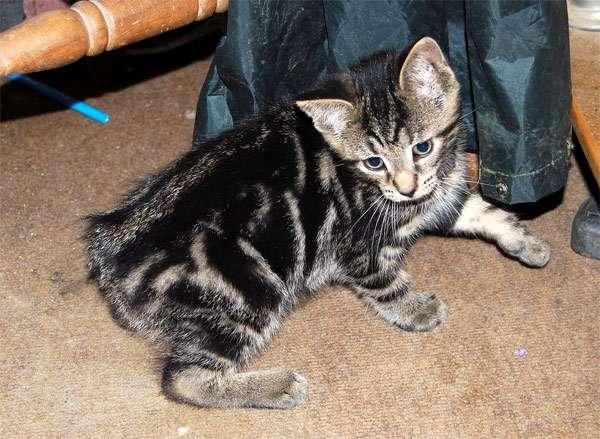 Мэнкс (менкс), фото породы кошек фотография картинка