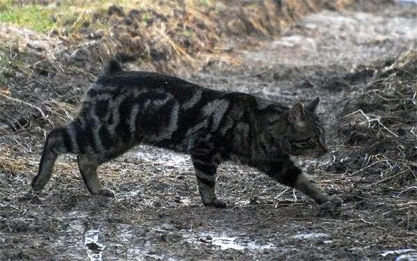 Мэнкс (манкс) идет по грязи, фото породы кошки фотография