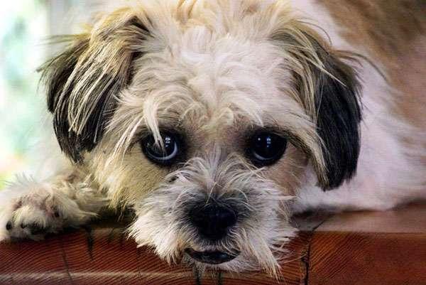 Лохматая собачка, фото болезни собак фотография