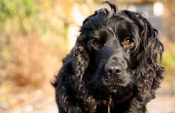 Черный спаниель, фото здоровье собаки фотография