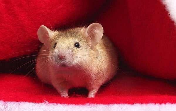 Домашняя мышь, фото клички для грызунов фотография