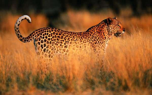 Леопард в траве, фото новости о хищных кошках фотография