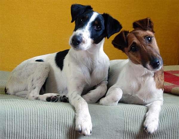 Два фокстерьера, фото породы охотничьих собак фотография