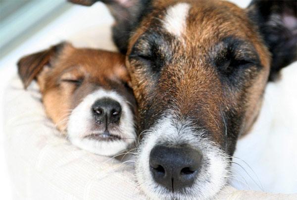 Спящие гладкошерстные фокстерьеры, фото породы норных собак фотография
