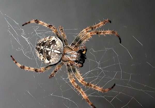 Паук крупным планом, фото членистоногие животные фотография