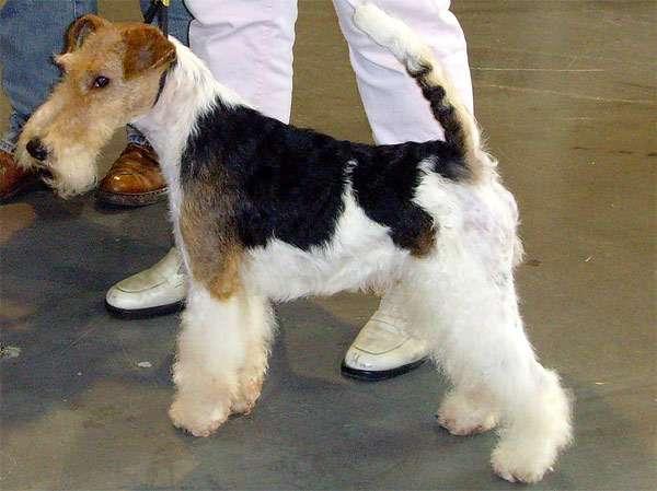 Жесткошерстный фокстерьер, фото норные породы собаки фотография изображение