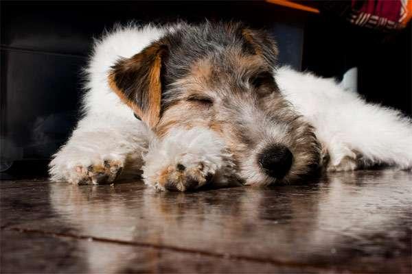 Спящий жесткошерстный фокстерьер, фото породы охотничьих собак фотография