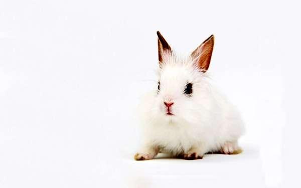 Белый домашний кролик, фотофотография картинка