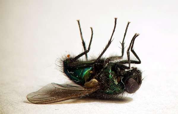 Дохлая муха, мертвая муха, фото насекомые фотография