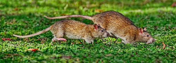 Когда мой корабль покинули крысы