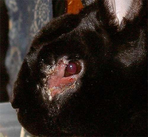 Сифилис кроликов, фото болезни кроликов картинка