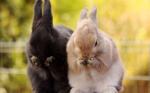 Два карликовых кролика, фото болезни кроликов фотография