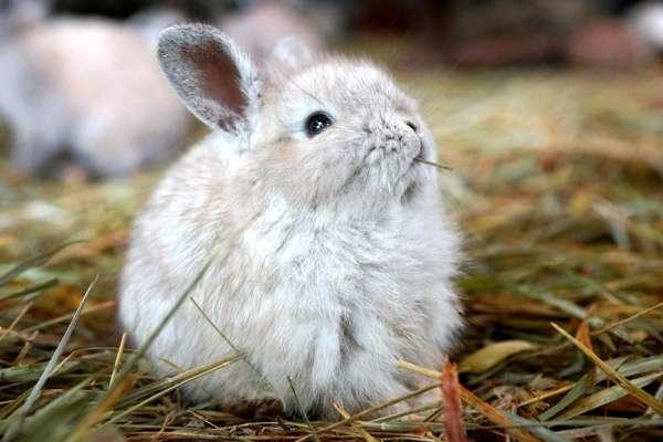 Карликовый кролик жует сено, фото болезни кроликов фотография