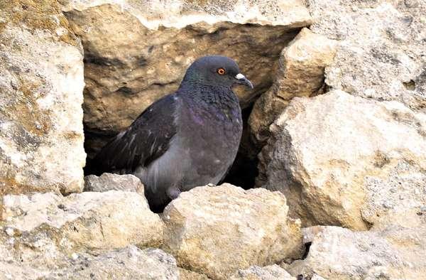 Голубь, фото фотография птицы