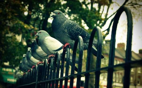 Городские голуби, фото птицы фотография