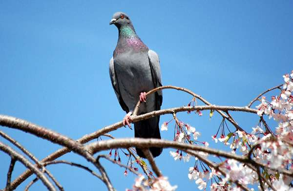 Сизый голубь на ветке, фото птицы фотография картинка