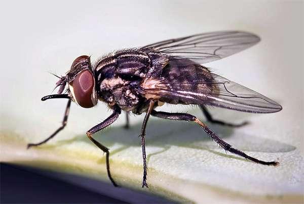 Осенняя жигалка (Stomoxys calcitrans), фото насекомые фотография