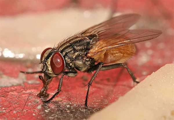 Комнатная муха (Musca domestica), фото двукрылые насекомые фотография изображение