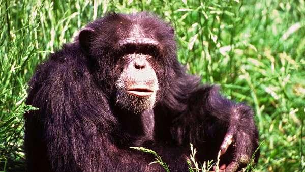 Шимпандзе, шимпанзе, фото приматы фотография картинка