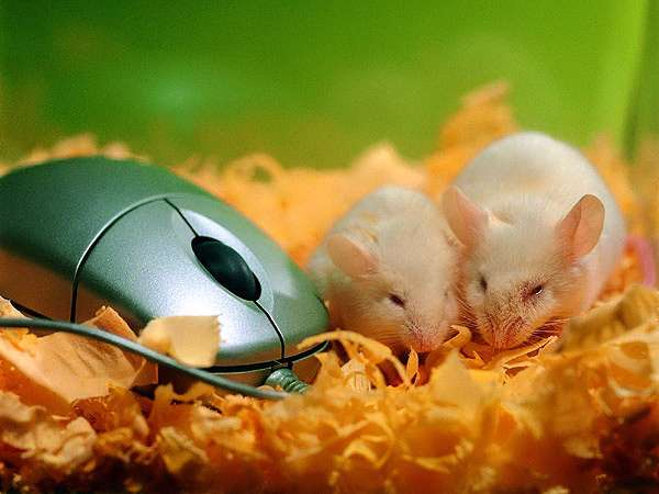 Белые лабораторные мыши, фото грызуны фотография