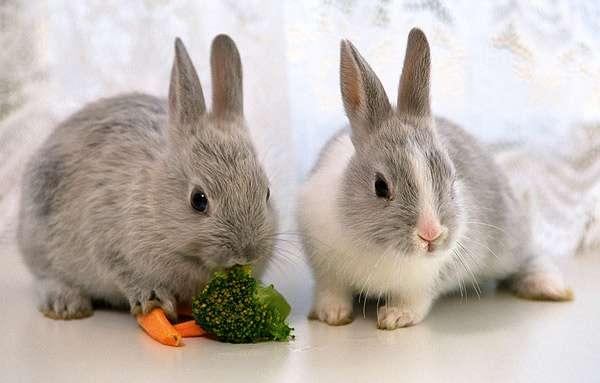 Декоративные карликовые кролики, фото фотография картинка