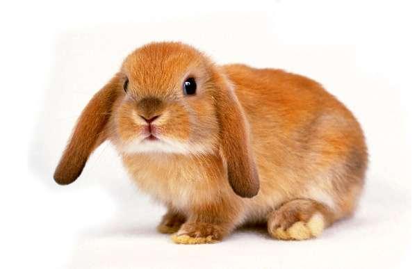 Кролик-баран, фото домашние кролики фотография