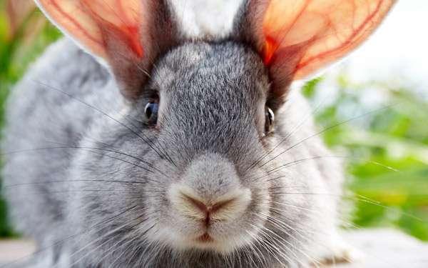 Уши домашнего кролика, фото фотография картинка