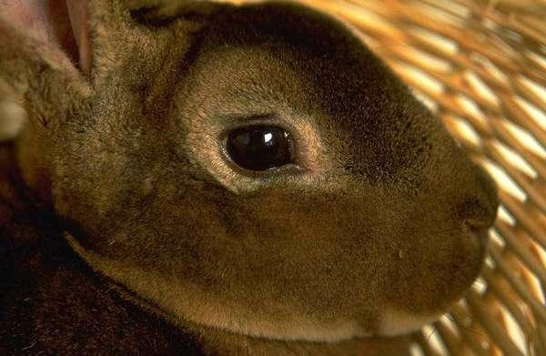 Глаз кролика, фото фотография картинка