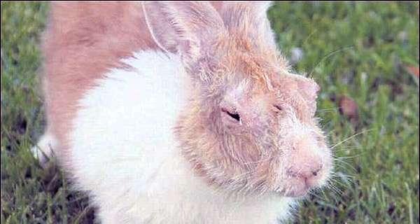 Кролик с опухшими глазами, фото болезни кроликов фотография